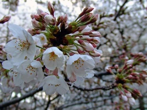 s-お花見8.jpg