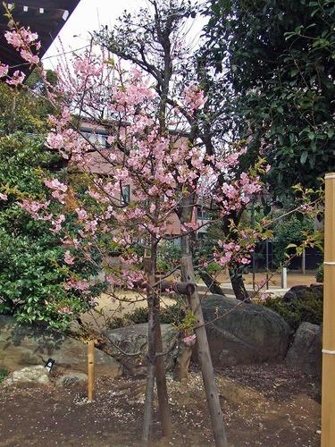 s-桜神宮3.jpg